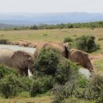 Elephants at a pool